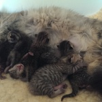 Emmy and kittens 3 days old